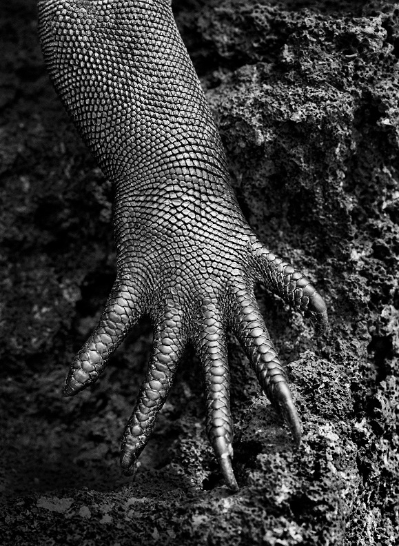 The claw of a marine iguana, a species found only on the Galápagos Islands, in Ecuador (2004)
