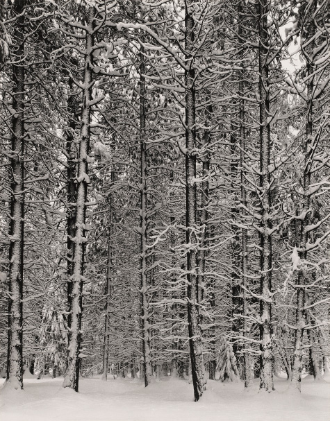Pine Forest in Snow, Yosemite National Park, about 1932, Ansel Adams